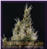 CBD Vanilla Haze Female 10 Marijuana Seeds
